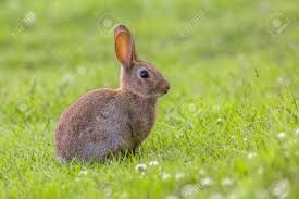 Image result for wild rabbit pics
