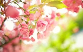 Wallpaper flowers, tree, pink, branches, spring, leaves