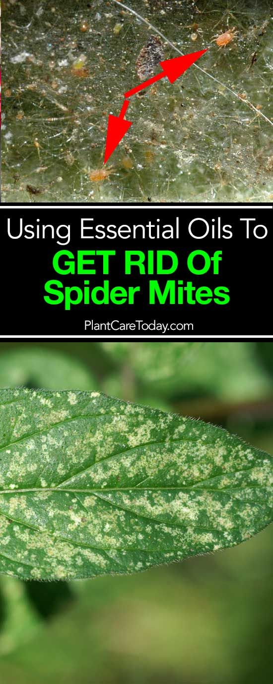 7 Essential Oils For Getting Rid Of Spider Mites