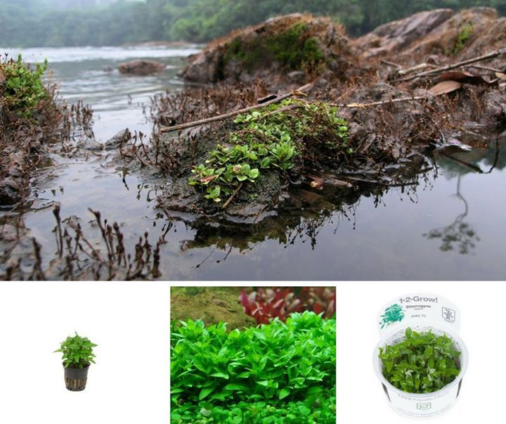 ► About Staurogyne repens 💬 by: Claus Christensen  Staurogyne repens (more about it here) is a fresh green, compact and hardy plant for the foreground of the aquarium. Its nearest relative in the aquaristic is Hygrophila, but Staurogyne repens is different with it's marked compact, low and bushy stature and small green leaves.  In 2005, we received this plant from an aquarist and later, also Tropica visited the habitat of Staurogyne repens. Here, Staurogyne repens grew on rocks in the River…