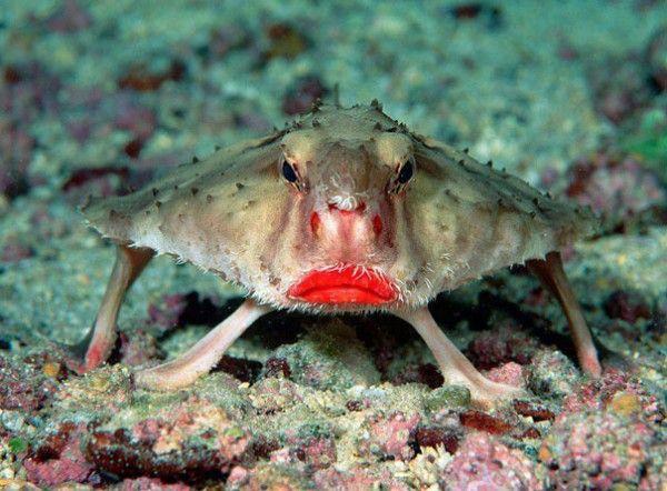 Kırmızı Dudaklı Yarasa Balığı: Dört yüzgecini de ayak gibi kullanarak su altında yürüyebilen tek balık! Kırmızı ruj sürülmüş gibi duran etli dudaklarıyla görenleri hayrete düşürüyor.