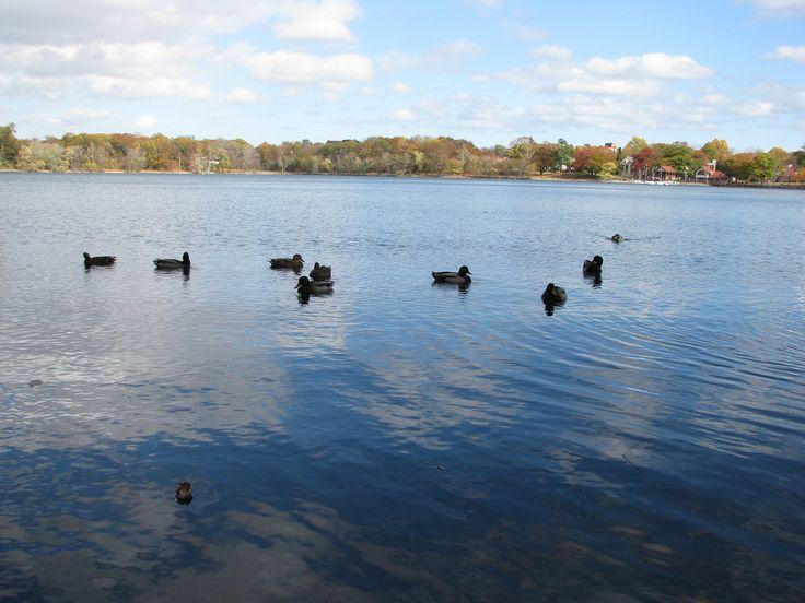 Ducks on Jamaica Pond in October by Dave Rezendes via Flickr