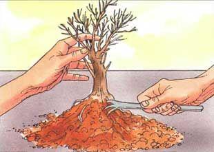 Очищают бонсай от старой земли