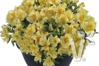 402002 Alstroemeria x hybrida Inticancha® Cabana