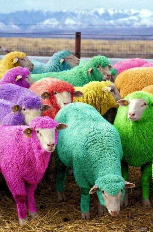 Sheep dyed with non toxic dye!. The farmer does this every year to entertain passing motorists near Bathgate, Scotland.