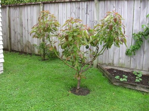 Our Healthy, Four Year Old Avocado Tree. How to pollinate.
