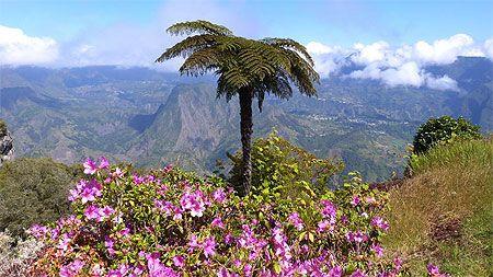 Fougère arborescente, forêt de Bélouve - Île de la Réunion