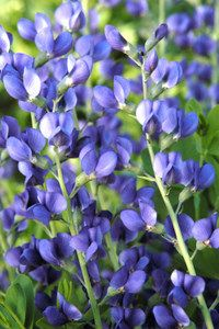 Blue False Indigo - © Steven Still/Perennial Plant Association