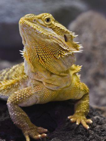 Pet Spotlight: Bearded Dragon  Just got my adolescent dragon today! He's super chill!