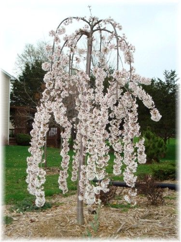 42 best ornamental trees images on pinterest landscaping for Small ornamental weeping trees