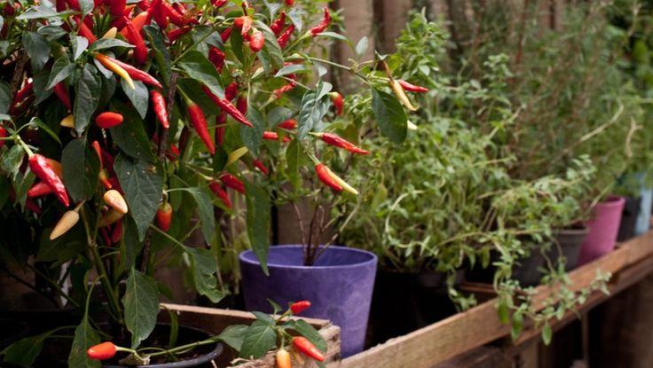 Conheça os melhores temperos para cultivar uma horta em casa