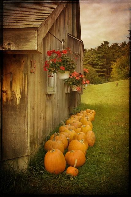 Barn, flowers, pumpkins