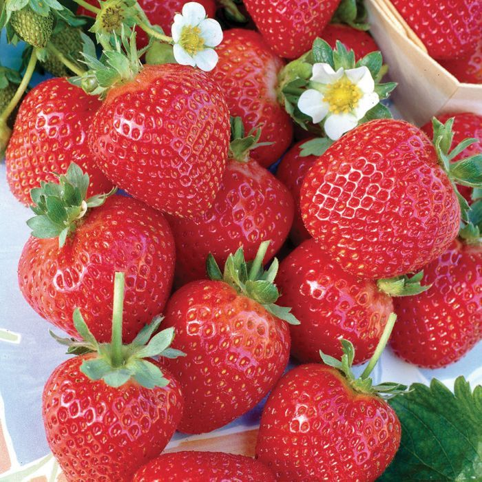 Albion Strawberry Everbearing Strawberries Strawberry Plants Strawberry