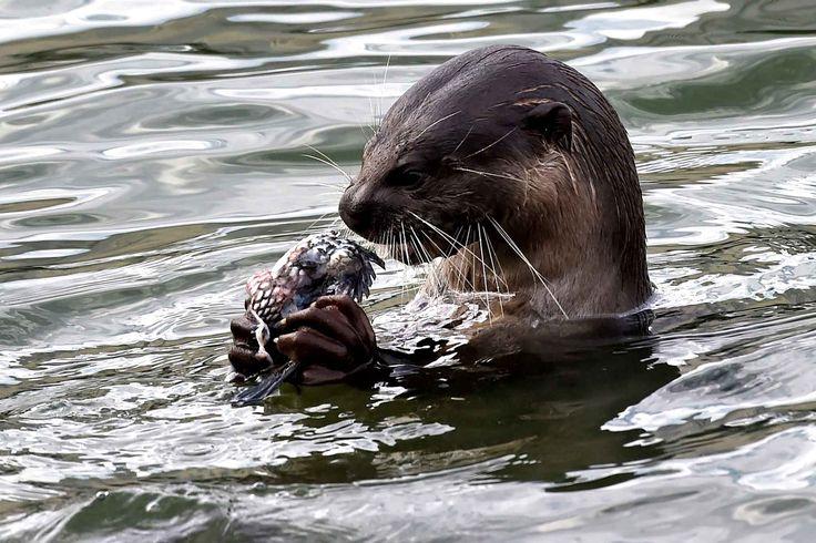 Une loutre sauvage dans le réservoir de Marina bay à Singapour mange un poisson.