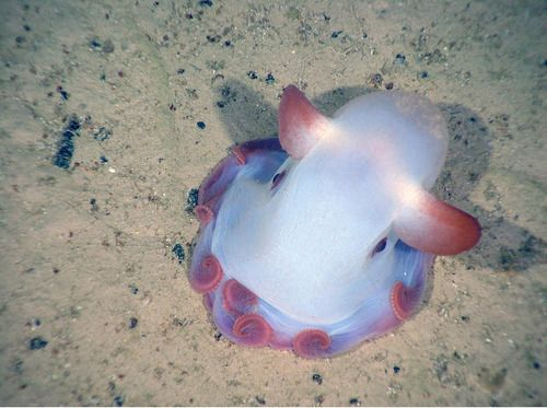 Cute dumbo octopus - photo#16