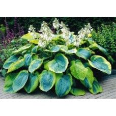 Funkia Siebolda ' Frances Williams' (Hosta sieboldiana)