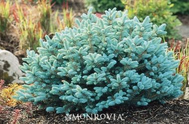 Blue globe spruce.  I think you should definitely consider a blue evergreen for the front yard.  Would be so pretty with your grey house.  and compliments pink flowers gorgeously!