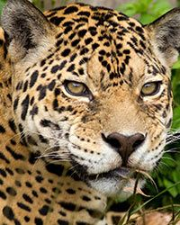 GreaterGood: Help Preserve Fragile Jaguar Habitat 140,000 DAILY CLICKS FUND THIS PROJECT Read more at http://greatergood.com/thanks/#kEefOfssxh4Dpk3O.99