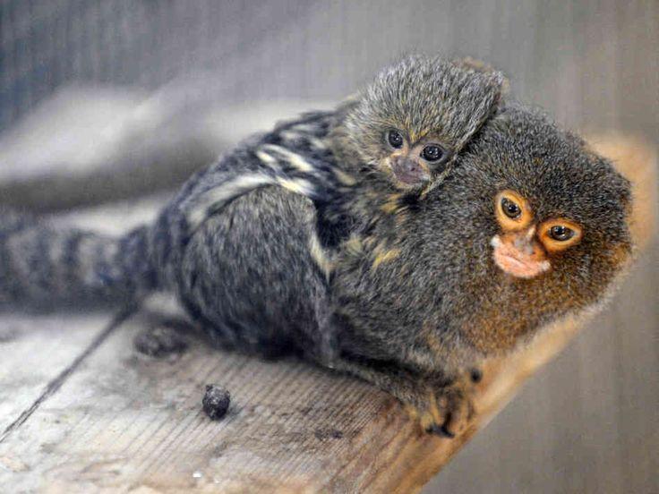 Pygmy Marmoset Monkey with baby(DwergzijdeAapje)