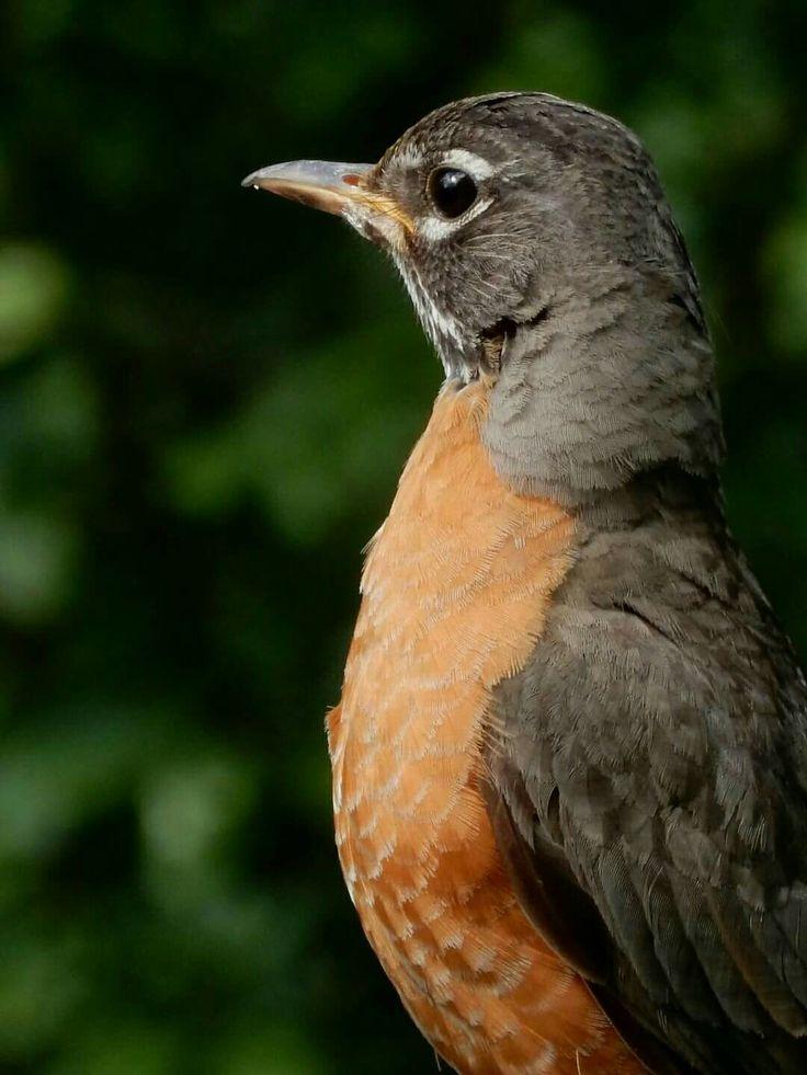 Robin by angelindaskyz