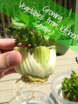 Easy Gardening: Growing Vegetables Plants from Kitchen Scraps!