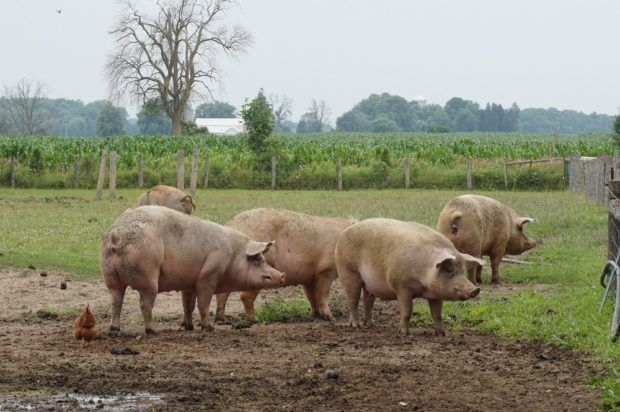 Cedar Row pigs   Batty's Bath volunteers at Cedar Row Farm Sanctuary - A charity we've supported for years by sponsoring a goat. We suited up and attended a Work Visit day to help out around the farm (and of course hangout with all the cool animals!)