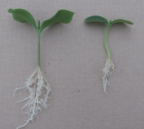 Огурцы: сильнее корни - больше урожай!