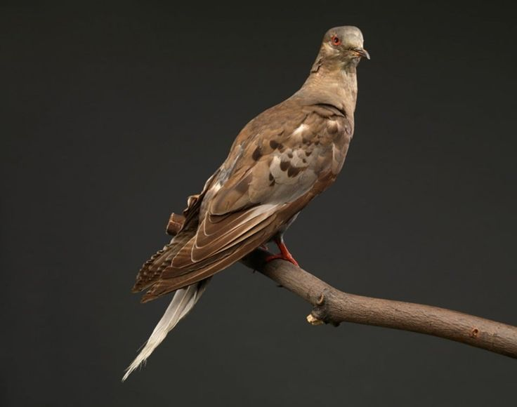 She was the last one. Martha died in 1914 at the Cincinnati Zoo. Passenger pigeons had numbered in the billions, but went extinct after ruthless hunting by humans. (National Museum of Natural History). Genetic study of passenger pigeons shows they were not doomed to extinction - The Washington Post