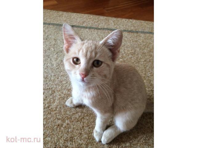 Отдам котенка в добрые, надежные руки. Дворняга, мальчик 3 месяца. Персикового цвета. Забавный, милый, очень ласковый, игривый. К лотку и когтеточке приучен. Можем подвезти в Москву к метро Парк Победы. Телефон +7 926 224-41-40
