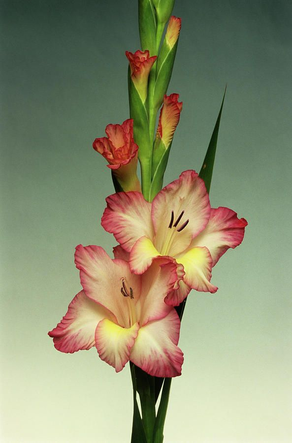 Google Image Result For Https Images Fineartamerica Com Images Medium Large 5 Gladiolus Prisci Gladiolus Flower Tattoos Gladiolus Flower Botanical Watercolor