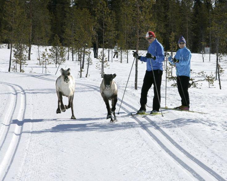 Länsi-Lapissa sijaitsevassa Pellossa voi ladulla törmätä kaikenlaisiin «hiihtäjiin».