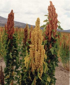 planta de quinoa - Buscar con Google
