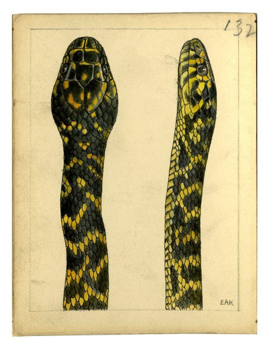 Watercolour of a Broad-headed Snake