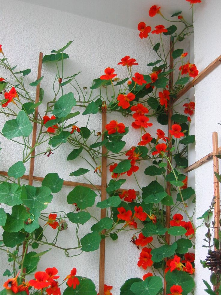 The white wall makes the red and green stand out. Nasturtiums  This works !