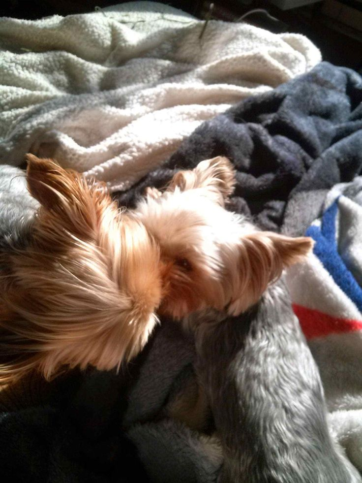 They always have to kiss eachother in the morning.     Found at: http://itsayorkielife.com/kellys-henry-and-katherine-tudor-2/  #Yorkies,#YorkshireTerrier,#Yorkielove,#ItsaYorkieLife