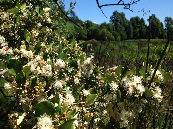 Flor de Pitra en Curarrehue / Myrceugenia exsucca. Pitrilla / Patagua