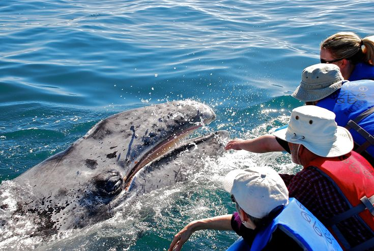 Tickle Whales in Mexico: The whales swim up to your boat, waiting to be scratched and tickled.