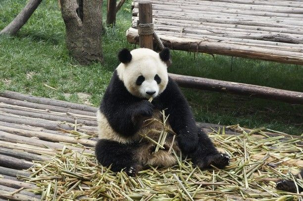 Chengdu, China — by mackanfkp. A visit to the Chengdu panda research base. These extremely lazy but super cute animals were really fun to see. Even...