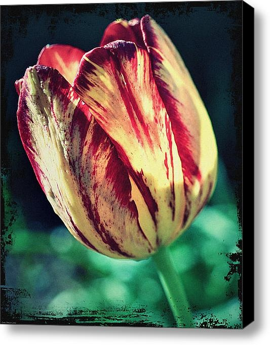 Limited Time Promotion ENDS March 2nd.. Only 5 Prints Available : Yellow Red Tulip Perennial Stretched Canvas Print 11 x 14 Canvas Print for only $50.00 WOW.. WHAT A GREAT DEAL.. GET IT NOW . While quantities last