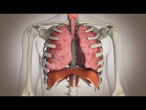 El funcionamiento del sistema respiratorio.