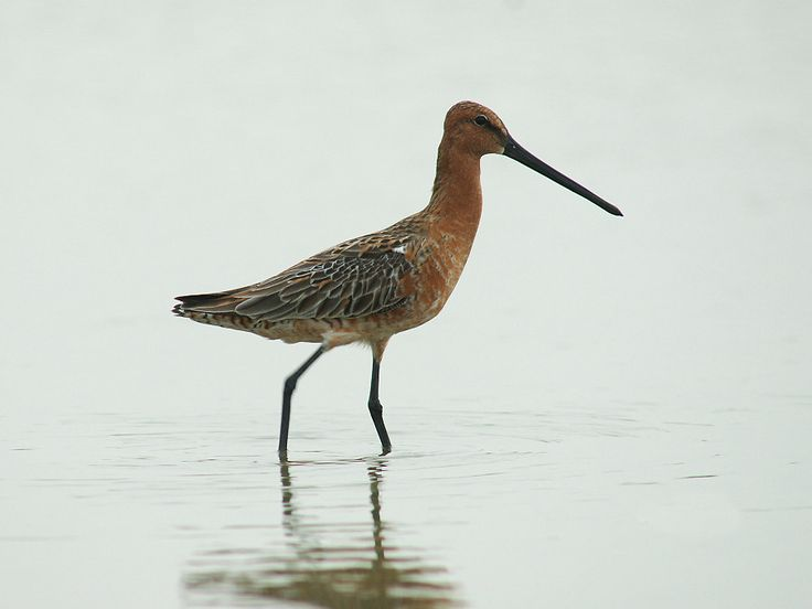 The Asian dowitcher (Limnodromus semipalmatus) is a rare medium-large wader. Asian dowitcher Adults have dark legs and a long straight dark bill, somewhat shorter than that of the long-billed dowitcher. The body is brown on top and reddish underneath in breeding plumage. The tail has a black and white barred pattern. The winter plumage is largely grey.  Their breeding habitat is grassy wetlands in inland northern Asia. They migrate to southeast Asia as far south as northern Australia…