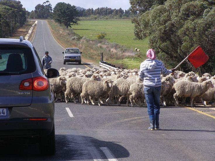 Traffic jam at Karwyderskraal