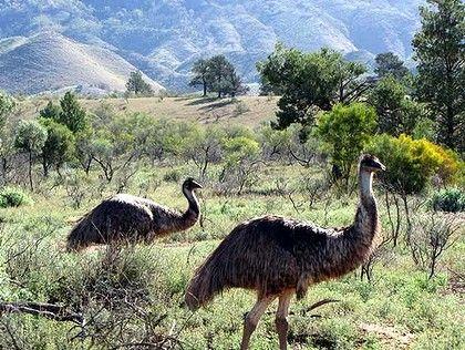 Emu in the Flinders Ranges