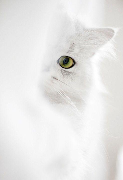 ❖Blanc❖ #White #cat #kitten