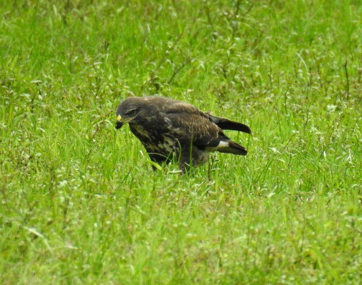 Buizerd eet ook insecten - Vogels - Buizerd