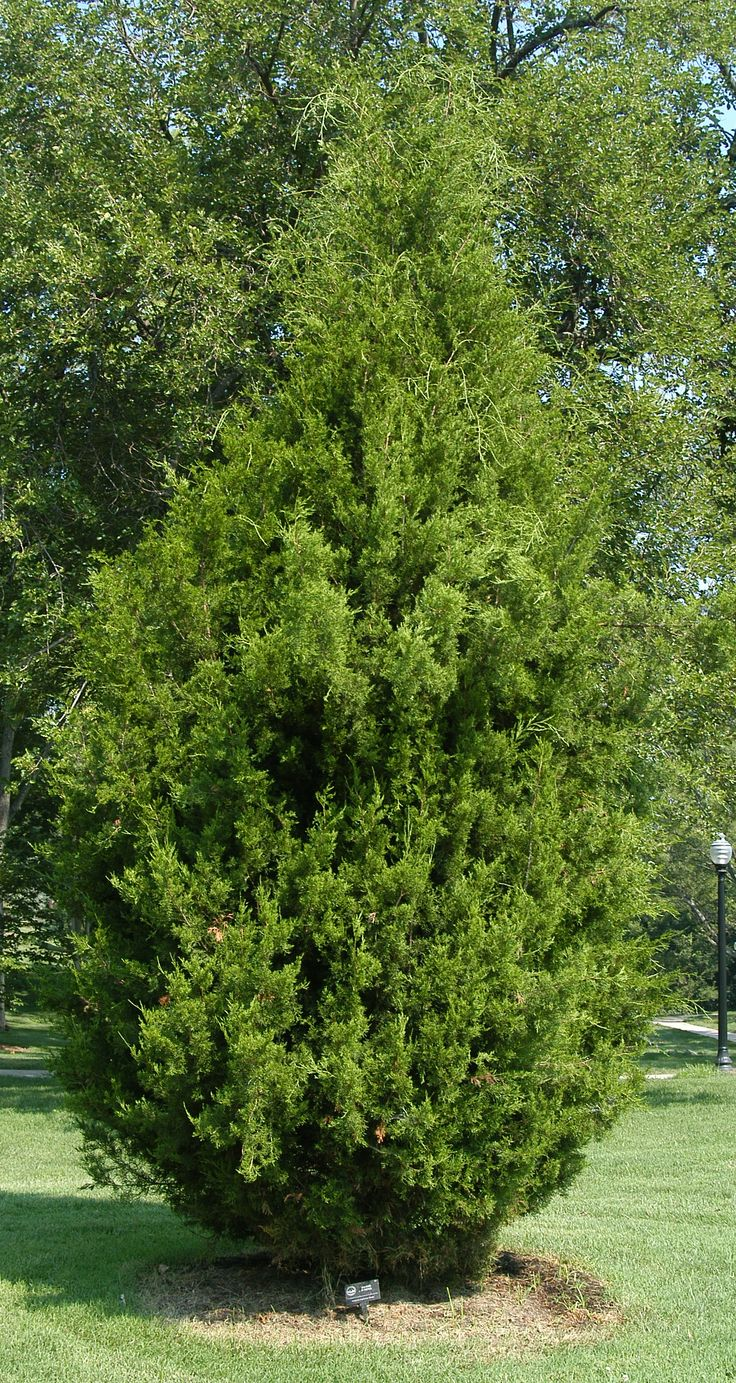 Red Cedar Juniper ~ Brodie juniper juniperus virginiana so pretty