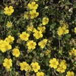 Potentilla: Bright yellow flowers cover shrubby cinquefoil. What it lacks in size it makes up in ornamental impact. How to care for Potentilla shrubs isn't difficult when you learn how. This article will help.