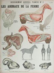 Cheval, digestion | Agriculture | Planches pédagogiques | Deyrolle I les Animaux de la Ferme