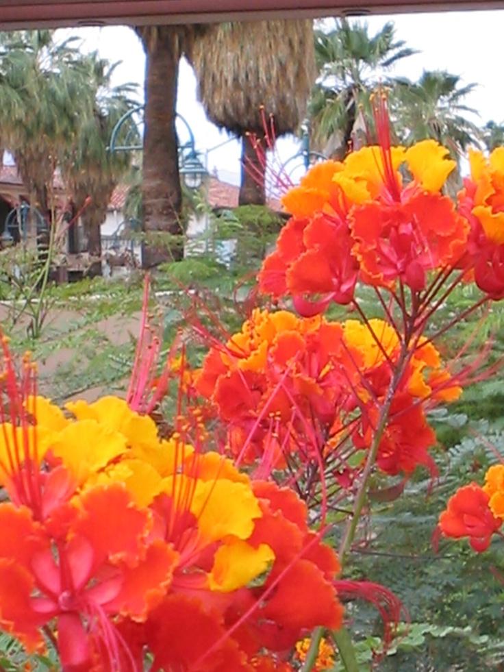 Palm Springs Desert Flowers Desert Flowers Desert