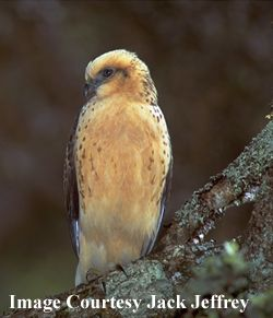 Hawaiian hawk or ʻio (Buteo solitarius) is a raptor of the Buteo genus endemic to Hawaiʻi, currently restricted to the Big Island. Buteos tend to be easily recognized by their bulky bodies relative to their overall length and wingspan. The ʻIo is the only hawk that is native to Hawaiʻi.